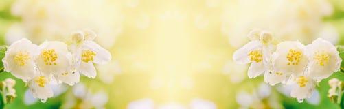 茉莉花分支在软的阳光下开花与雨珠 免版税库存照片