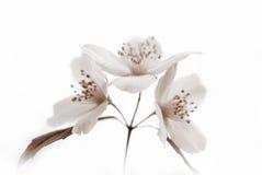 茉莉花单色开花在白色背景的 库存照片