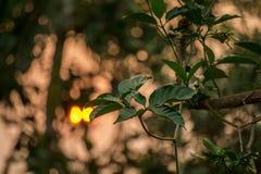 茉莉花叶子、芽和花在庭院里有发光从后面的太阳光的 库存图片