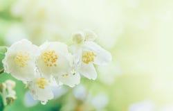 茉莉花在软的早晨阳光下开花与雨珠 免版税库存照片
