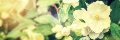 茉莉花开花特写镜头 背景蓝色云彩调遣草绿色本质天空空白小束 免版税图库摄影