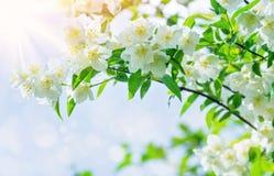 茉莉花开花的树  免版税库存图片