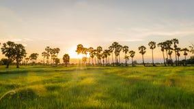 茉莉花米与棕榈汁树的绿色领域风景在日落时间 库存照片