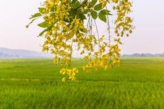 稻茉莉花米农场在泰国 免版税库存照片