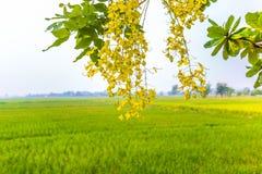 稻茉莉花米农场在泰国 库存图片