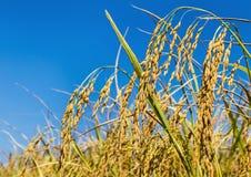 茉莉花米的耳朵在种植园水稻领域的 免版税库存照片