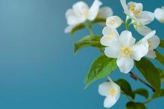 茉莉花花和叶子在蓝色背景 免版税库存图片