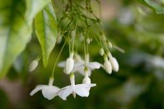 水茉莉花花是精美白色和吊从深绿叶子下面 免版税库存图片