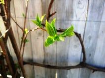 茉莉花绿色叶子  免版税库存照片
