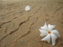 茉莉花(Nyctanthes树荫处tristis),夜开花的茉莉花 免版税图库摄影