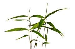 茎摩梭竹的Phyllostachys年轻幼木细节和叶子可食 免版税库存图片