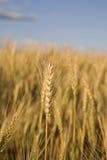 茎麦子 图库摄影