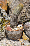 阴茎(公鸡)象在佛罗里达(Echinopsis mamillosa)采取的仙人掌 免版税库存图片