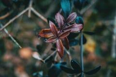 茜草属peregrina紫色叶子特写镜头  免版税库存照片