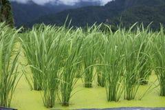 茭蠕孢菌Latifolia Turcz (Griseb ) Stapf 免版税库存图片