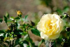 茱莉亚・蔡尔德floribunda上升了开花… 库存照片