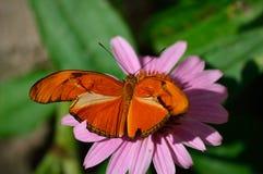 茱莉亚蝴蝶, heliconian的茱莉亚,火焰,在coneflower的大烛台 库存图片
