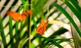 茱莉亚蝴蝶 库存照片