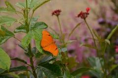 茱莉亚Longwing蝴蝶在庭院里 库存图片