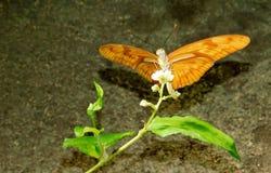 茱莉亚Longwing蝴蝶 库存图片