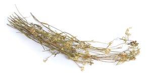 茴芹虎耳草属植物,叫作burnet-saxifrage, solidstem burnet saxifrage,一点burnet 干药用植物 库存图片
