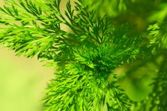 茴香植物背景  免版税库存图片