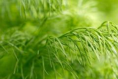 茴香植物背景  库存照片