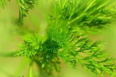 茴香植物背景  免版税图库摄影