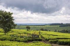 茶丛生生长在楠迪小山,西部肯尼亚的高地 免版税库存照片