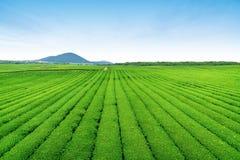 茶农场 免版税库存图片