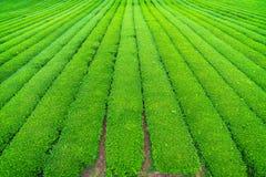 茶农场 免版税库存照片