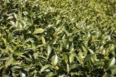 茶厂叶子。 免版税图库摄影