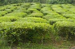 茶厂 免版税库存照片