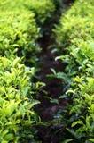 茶叶农场 库存图片