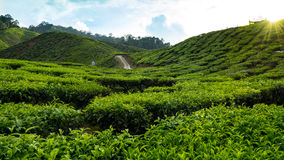 茶园卡梅伦高地,马来西亚 免版税库存照片