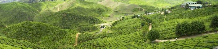 茶园在卡梅伦高地,马来西亚 免版税库存照片