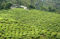 茶园在卡梅伦高地,马来西亚 免版税图库摄影