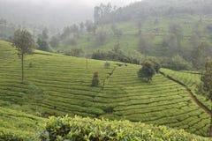 茶园在印度 库存照片