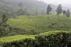 茶园在印度 免版税图库摄影