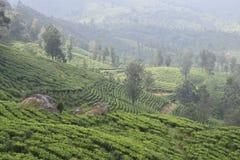 茶园在印度 免版税库存图片