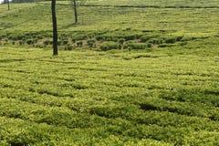 茶园在印度 免版税库存照片