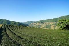 茶园在土井美斯乐,清莱泰国 免版税图库摄影