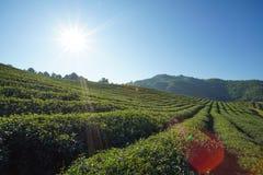 茶园在土井美斯乐,清莱泰国 免版税库存图片