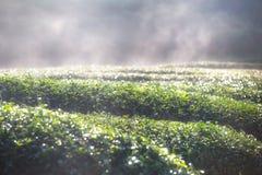 茶园在有薄雾的早晨 免版税库存照片