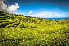 茶园在波尔图Formoso outstandin惊人的风景  库存照片