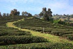 茶园在美斯乐,北泰国 免版税库存照片