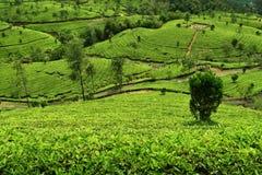 茶园在munnar绿的树荫下 库存图片