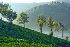 茶园在Munnar,喀拉拉,南印度 免版税库存图片