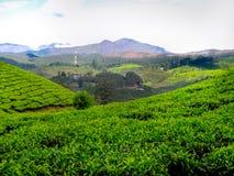 茶园在Munnar,喀拉拉,印度 免版税库存照片