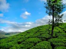 茶园在Munnar,喀拉拉,印度 库存照片
